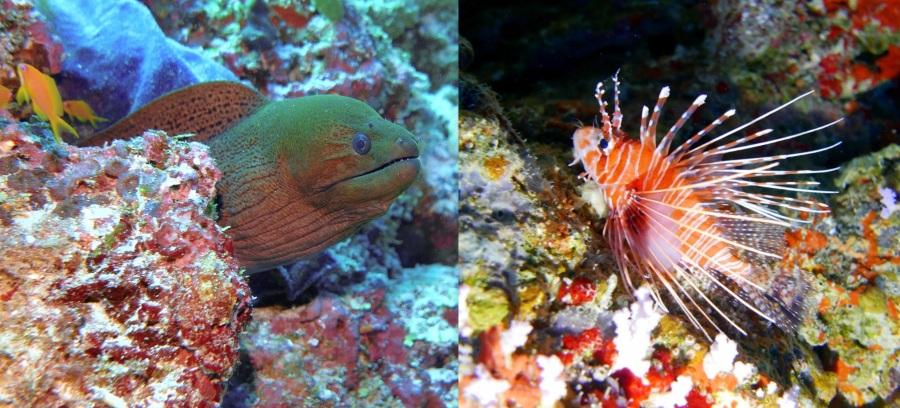 Fulidhoo - lion fish