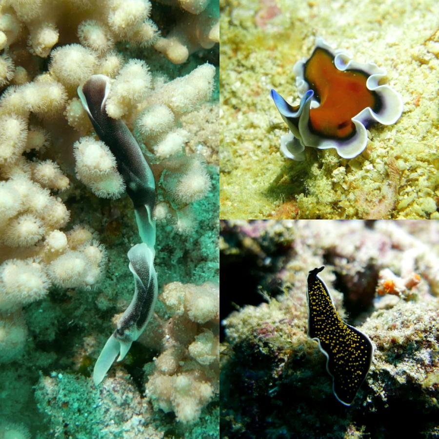 Chelidonura amoena i morskie wirki
