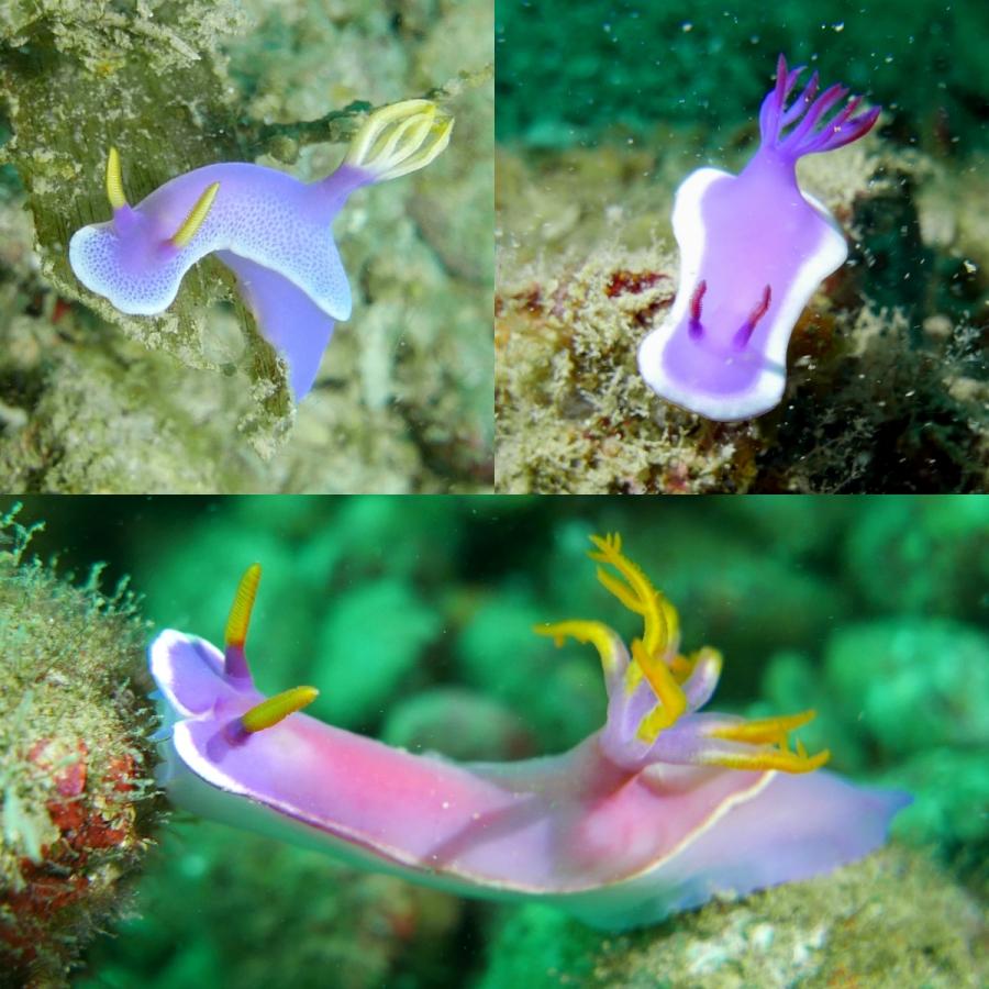Ślimaki morskie - przedstawiciele rodzaju Hypselodoris