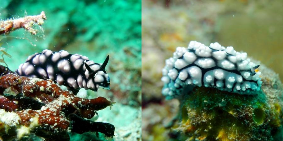 Ślimaki morskie: Phyllidiella pustulosa i Phyllidiopsis krempfi